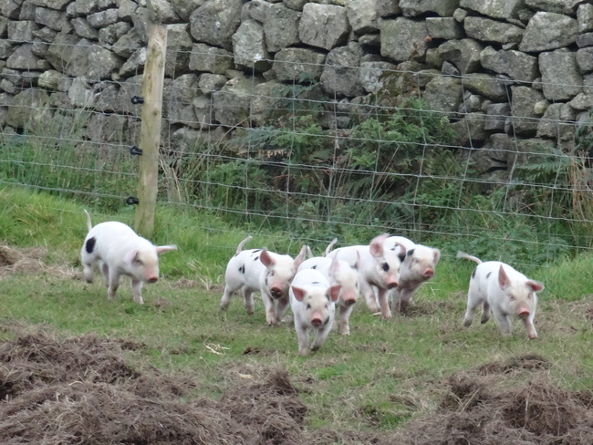 "Lundy piglets. (""When we were very young…"")"